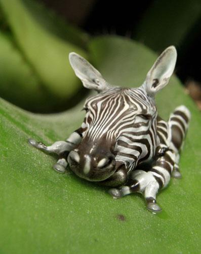 Zebrog – zebra/frog